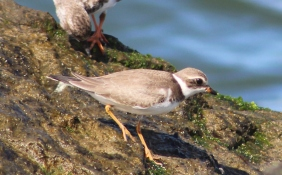 Sempalmated Plover nonbreeding plumage (Image by David Horowitz)