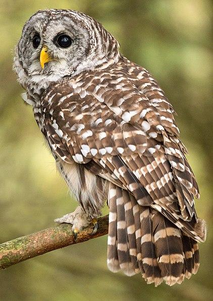 422px-Barred_Owl_(Canada)