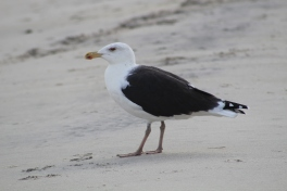 Black-backed Gull (Image by BirdNation0