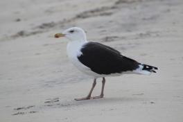 Black-backed Gull (Image by BirdNation0