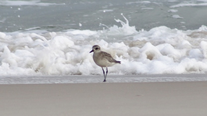 Black-bellied Plover nonbreeding (Image by BirdNation)
