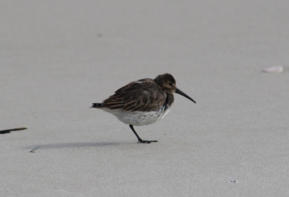 Dunlin (Image by David Horowitz)