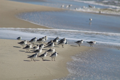 Sanderlings (Image by BirdNation)