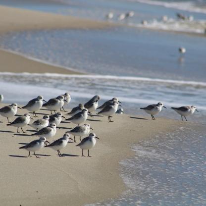 Sanderlings (Image by BirdNation)