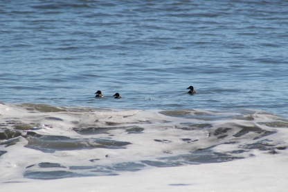 Surf Scoters (Image by BirdNation)