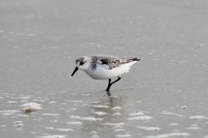 Sanderling (Image by BirdNation)