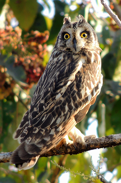 Short-eared_owl_(Asio_flammeus)_Photograph_By_Shantanu_Kuveskar