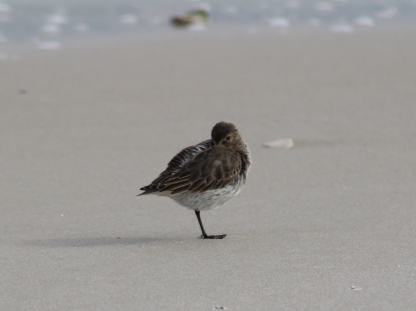 Sleepy Dunlin (Image by BirdNation)