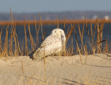 Snowy Owl 12/24/17 (Image by David Horowitz)