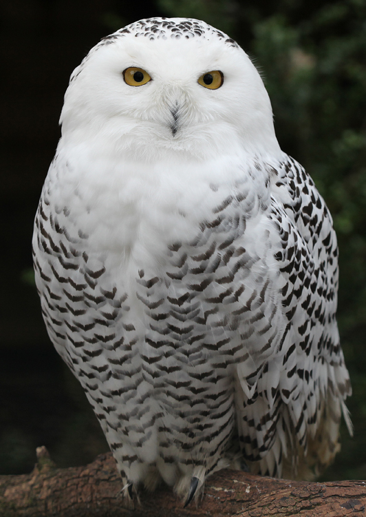 Snowy_Owl_-_Schnee-Eule