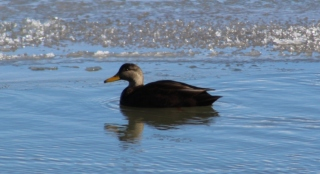 American Black Duck (Image by David Horowitz)