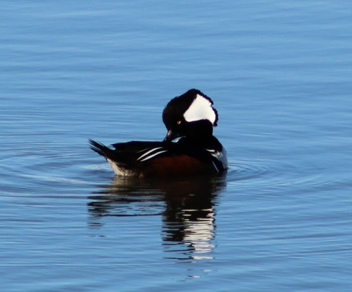 Hooded Merganser (Image by David Horowitz)