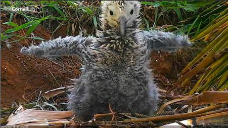 Laysan Albatross chick (Screenshot taken by BirdNation while watching Cornell Lab Albatross cam)