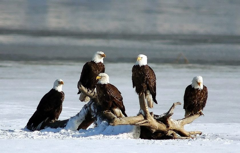 Groups Eagle Bald Eagles Group Bird Pictures For Wallpaper