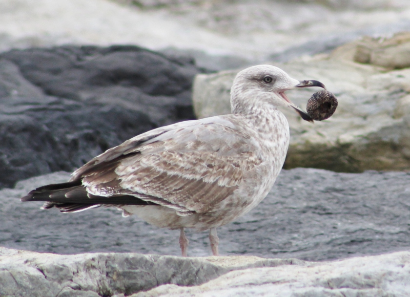 gull with test