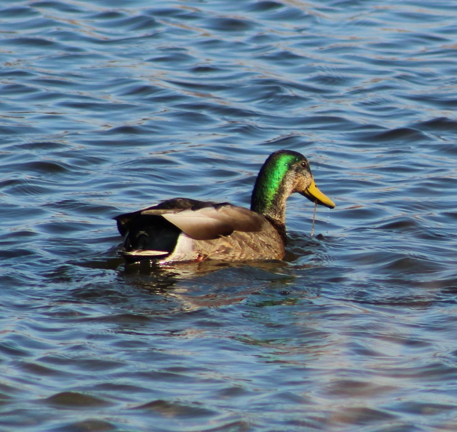 hybrid duck 1