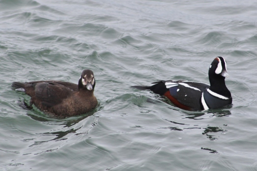 Harlequin Ducks female and male (Image by David Horowitz)