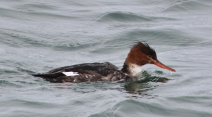 Red-breasted Merganser female (Image by David Horowitz)