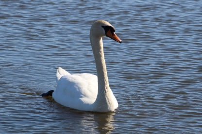 Mute Swan (Image by BirdNation)