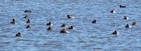 Redheads and Greater Scaups (Image by David Horowitz)