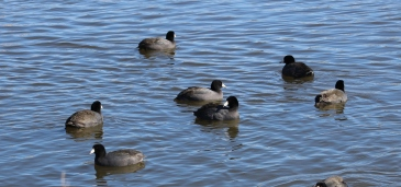 American Coots (Image by BirdNation)