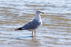 Herring Gull (Image by BirdNation)
