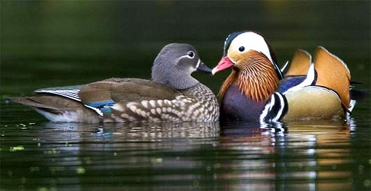male-female-mandarin-duck