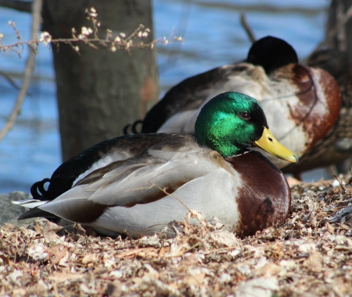 Mr. Mallard (Image by BirdNation)