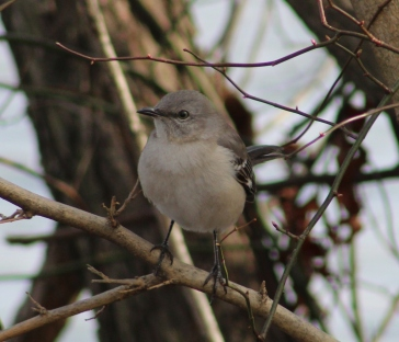 Northern Mockingbird (Image by BirdNation)