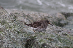 Purple Sandpiper (Image by David Horowitz)