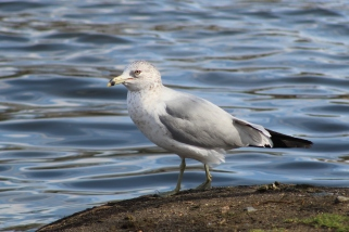 Ring-billed Gull (Image by BirdNation)