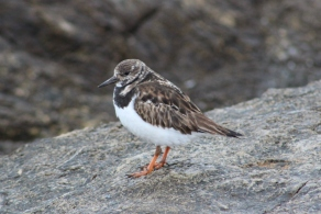 Ruddy Turnstone (Image by David Horowitz)