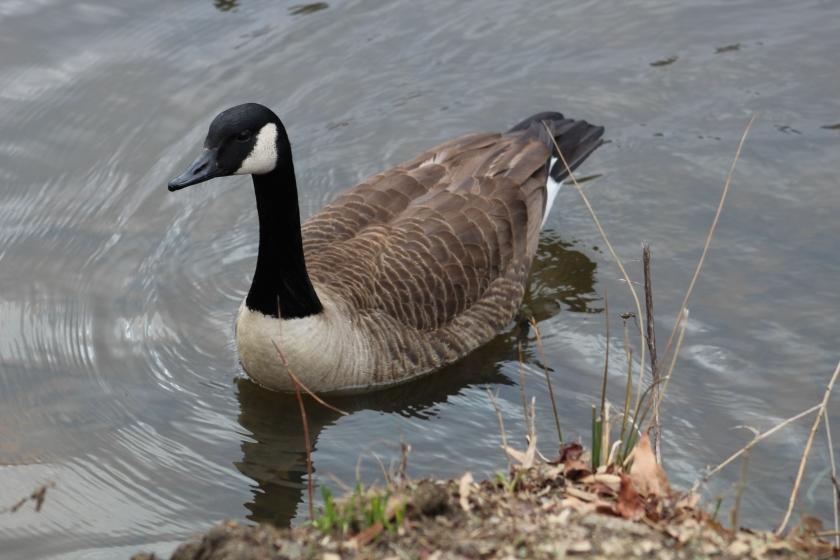stalker goose 2