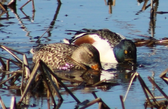 Northern Shoveler pain (Image by BirdNation)