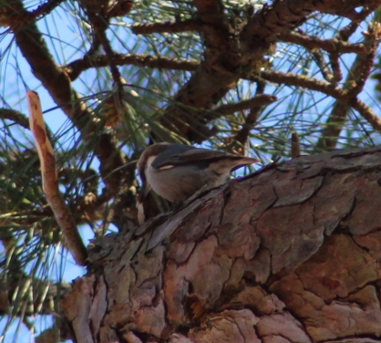 Brown-headed Nuthatch (Image by David Horowitz)