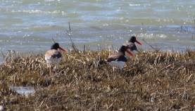 American Oystercatchers (Image by David Horowitz)