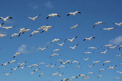 Snow Geese (Image by David Horowitz)