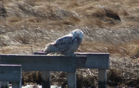 Snowy Owl 3/18/18 (Image by David Horowitz)