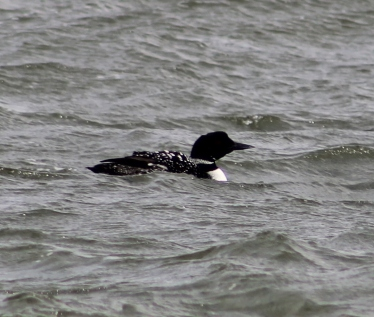 Common Loon (Image by BirdNation)