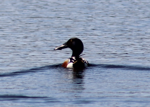 Northern Shoveler (Image by David Horowitz)