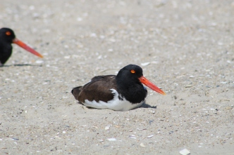 American Oystercatcher (Image by David Horowitz)