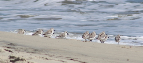 Sanderlings (Image by David Horowitz)