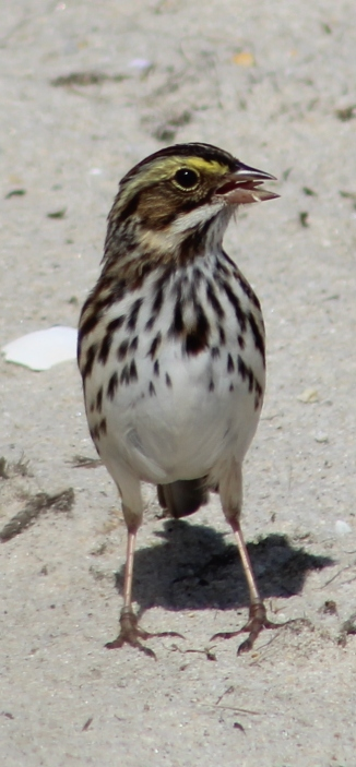 Savannah Sparrow (Image by David Horowitz)