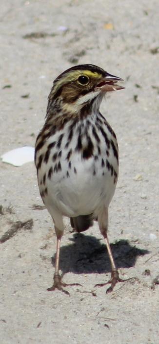 Savannah Sparrow (Image by David Horowitz)