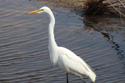 Great Egret (Image by BirdNation)
