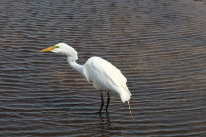 Great Egret Swallowing a Fish (Image by BirdNation)
