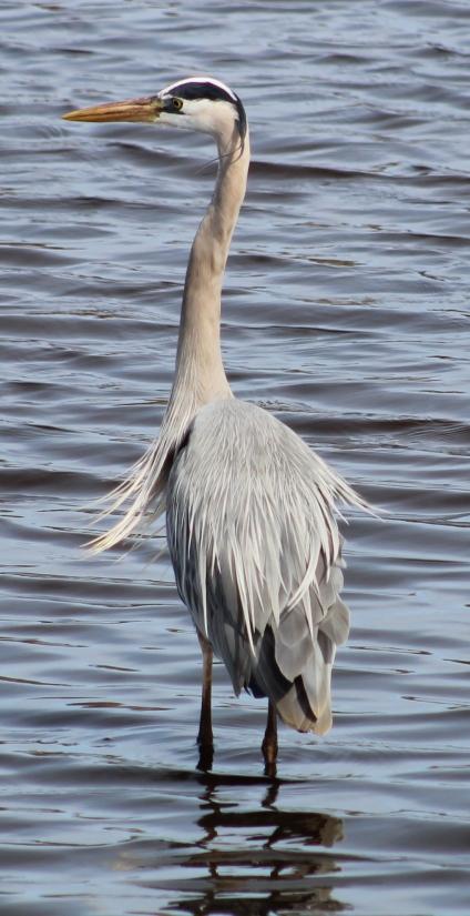 Great Blue Heron (Image by BirdNation)