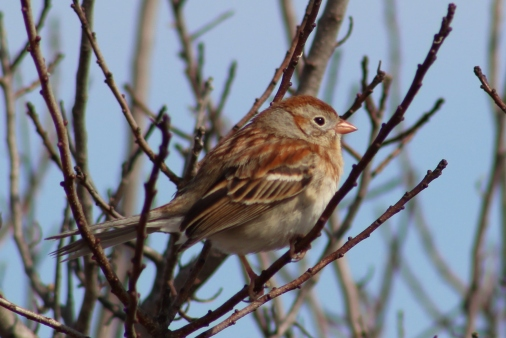 Field Sparrow (Image by BirdNation)