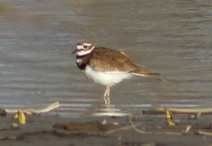 Killdeer (Image by BirdNation)