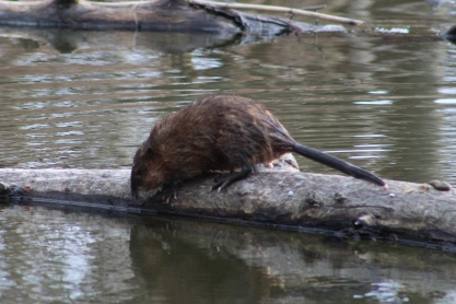 Muskrat (Image by BirdNation)